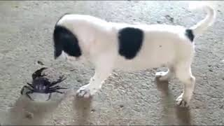 A puppy playing with a crab, watch till the end what will happen ?