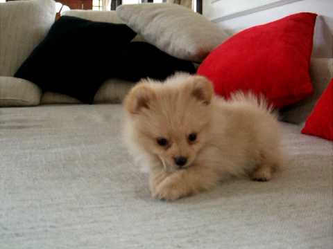 POMERANIAN PUPPY GLOSSY POSTER PICTURE PHOTO dog baby cute ...  |Cute Baby Dog Pictures