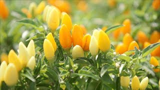 Ornamental Peppers