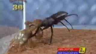 Жук олень против скорпиона