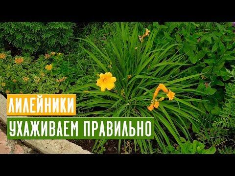 Все, что нужно знать о лилейниках 🌺 Мои любимые сорта / Садовый гид