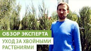 Уход за хвойными растениями(В этом видео наш эксперт расскажет Вам о уходе за хвойными растениями. Если Вы хотите приобрести хвойное..., 2014-05-29T07:19:39.000Z)