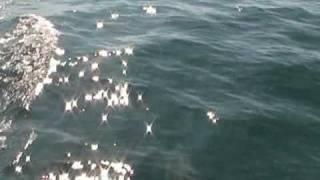 Dolphins in the Black Sea / Делфини в Черно море