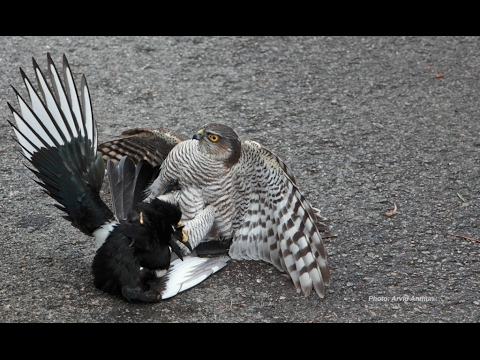 Sparrowhawk vs Magpie
