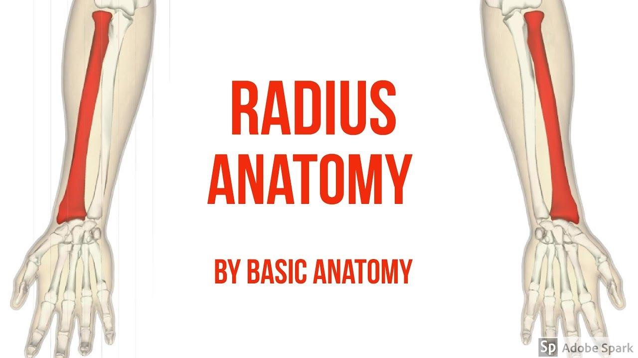 RADIUS ANATOMY || BY Basic Anatomy - YouTube