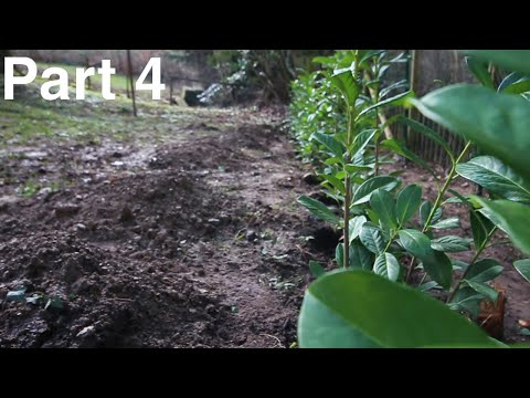 Planting A Laurel Hedge || The Garden Clean Up Project Part 4