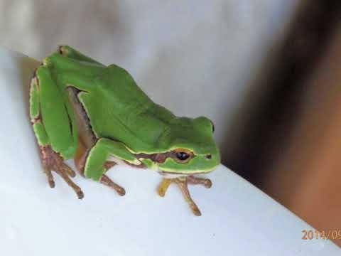 European tree frog (Hyla arborea formerly Rana arborea)