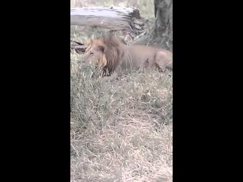 Lion Ate Giraffe.    (Bye Sharleen And Trevor)
