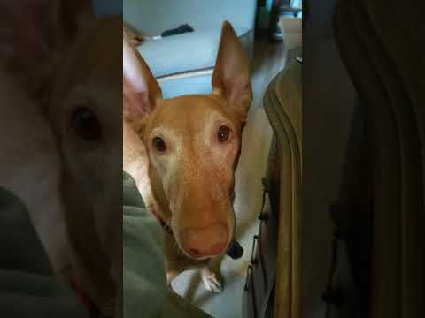 Baby Isis Pharaoh Hound Beggin for Food