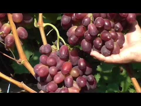 данном случае шахиня ирана сорт винограда фото и описание что дикий