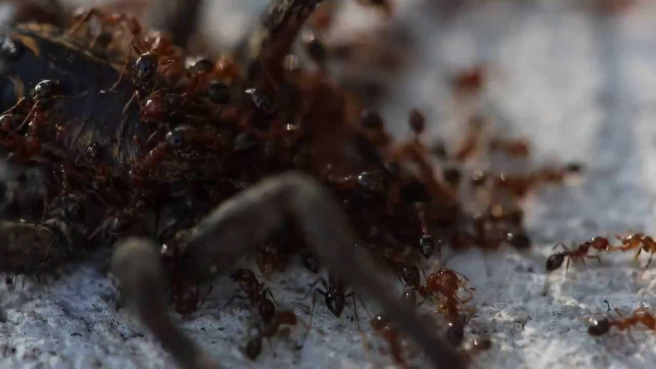 Ferne McCann Eats a HUGE Live Spider! | I'm A Celebrity ...