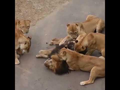 PERFECT * Un Lion Qui Se Fait Attaquer Par Des Lionnes.
