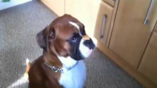 Boxer Dog Catches A Treat Off His Nose