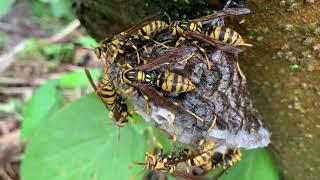 アシナガバチ(脚長蜂、英: Paper wasp)は、スズメバチ科アシナガバチ亜科に属するハチの総称。