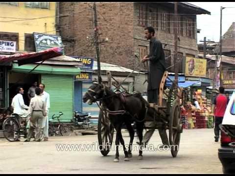 Taanga: Traditional Transport on the streets of Srinagar