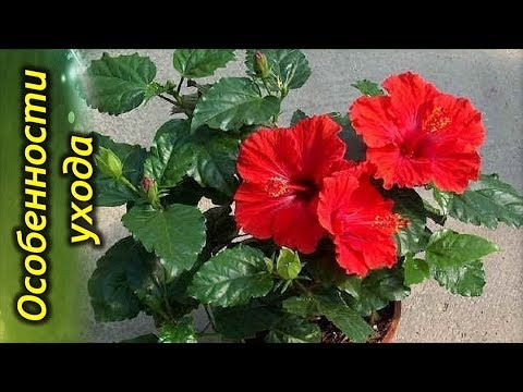ГИБИСКУС (Китайская Роза) – секреты и особенности ухода в домашних условиях.