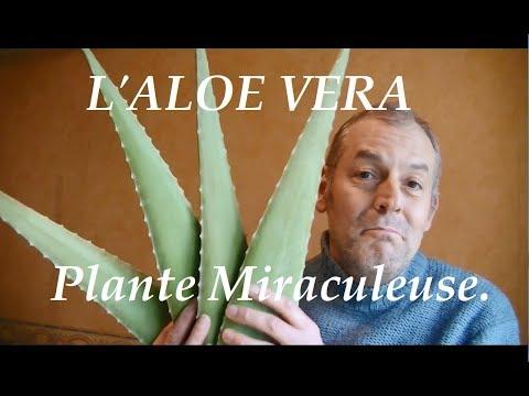 L'Aloe vera propriétés vertus et bienfaits pour votre santé, plante miraculeuse.