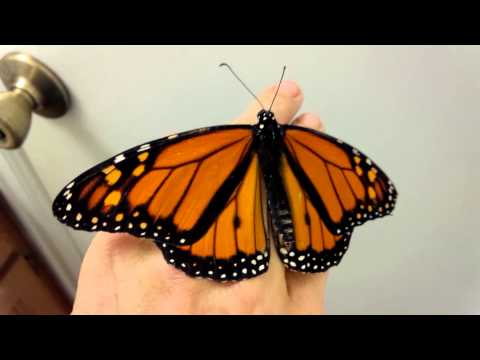 Papillon: Sweetest Monarch Butterfly EVER! ~ 11.12.13