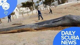 Daily Scuba News - Plastic Pollution Kills Sperm Whale