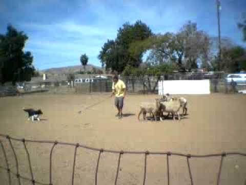 Download Keeper The Border Collie Herding Sheep 04/19/09(2nd run of the day)