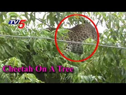 Rare Video Shows Cheetah Perched On A Tree   Rayadurg   Telugu News   TV5 News