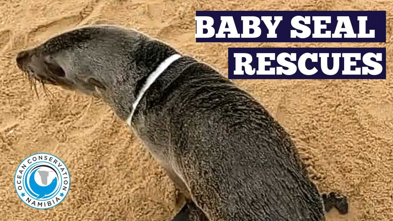 Baby Seals Rescued from Plastic Entanglement