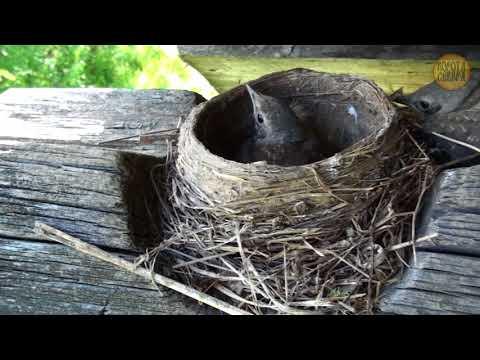 Гнездо дрозда, от яиц до полёта