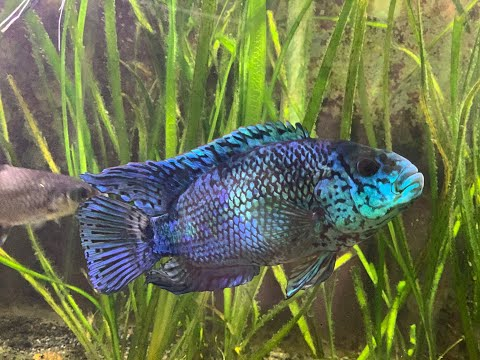 Electric Blue Jack Dempsey 4 Years Later! | Tank Update