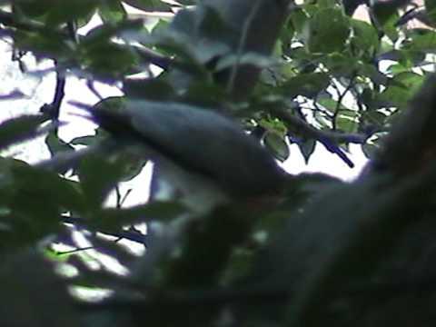 Shikra (Hawk) eats a Palm Squirrel thumbnail