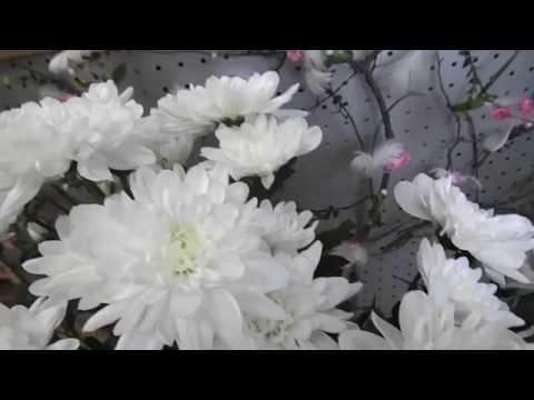 Хризантема кустовая, Нескучный сад Новоуральск.