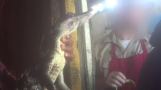Crocodiles and Alligators Butchered for Their Skins on Factory Farms