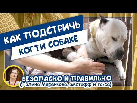 Как подстричь когти собаке. Безопасно и правильно (Галина Меренкова, амстафф и такса)