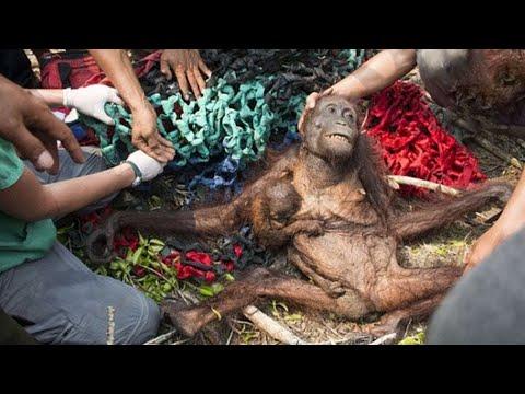 Pengorbanan Induk Orangutan Untuk Anaknya