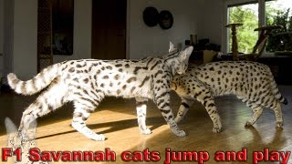 Savannah Cat TV - F1 Savannah cats jump and play