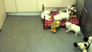 Little Rascals Uk Breeders New Litter Of Weechons (westie X Bichon)