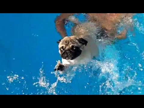 Funny Pug Swimming In Pool For The First Time 🐶