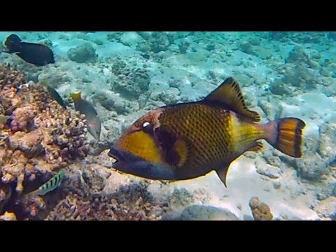 Titan triggerfish - Madunudu Island reef