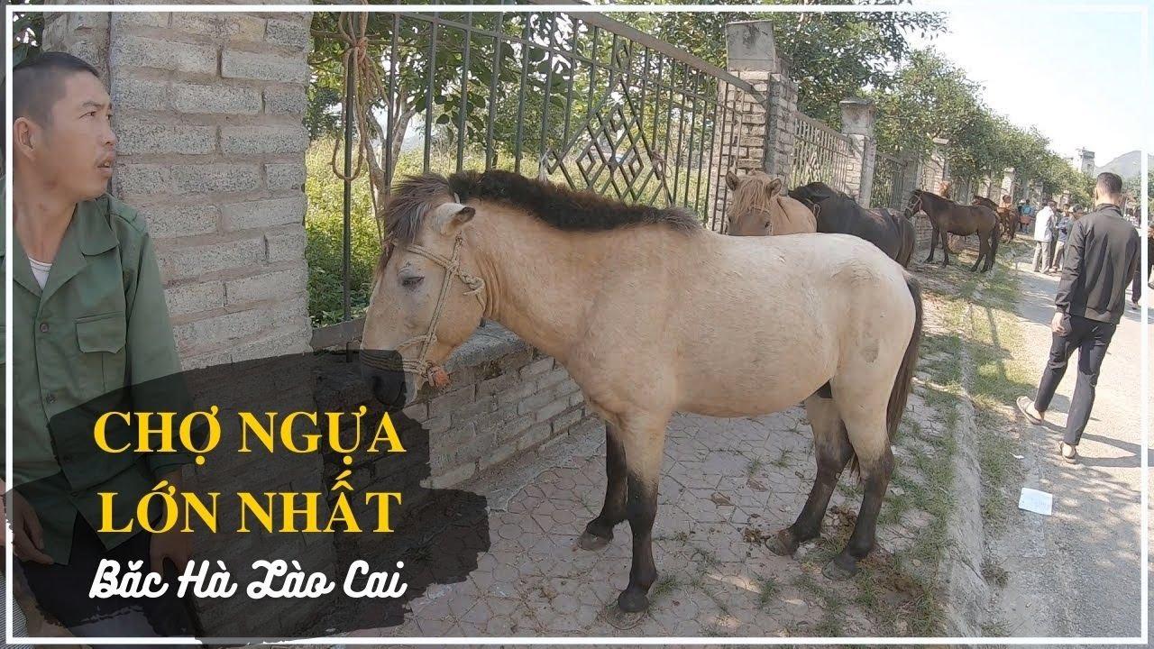 Chợ Ngựa Lào Cai – Nơi sản sinh ra giống ngựa đua Bắc Hà nổi tiếng