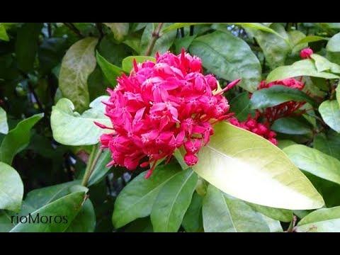 Coralillo: Ixora coccinea (www.riomoros.com)