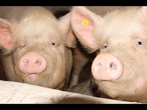 Как болеют свиньи африканской чумой