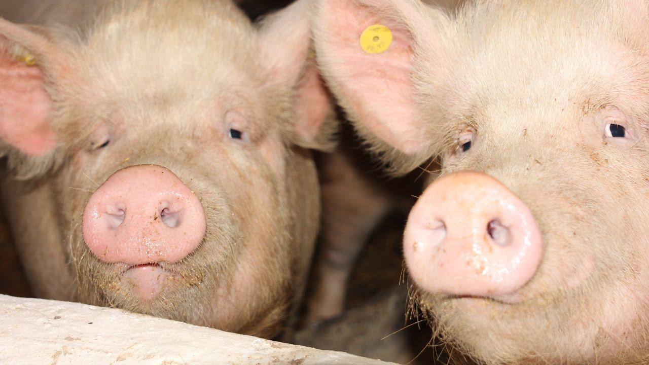Инструкция по борьбе с африканская чума свиней