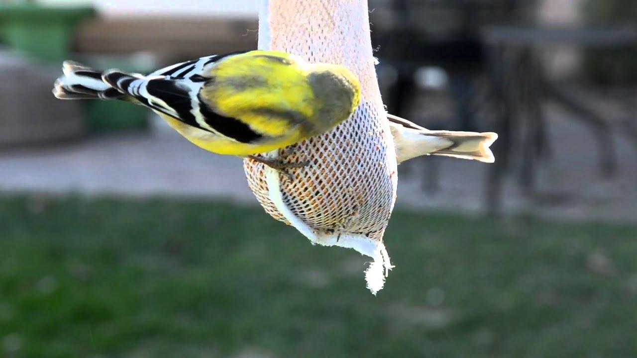 New Jersey State Bird Eastern Goldfinch