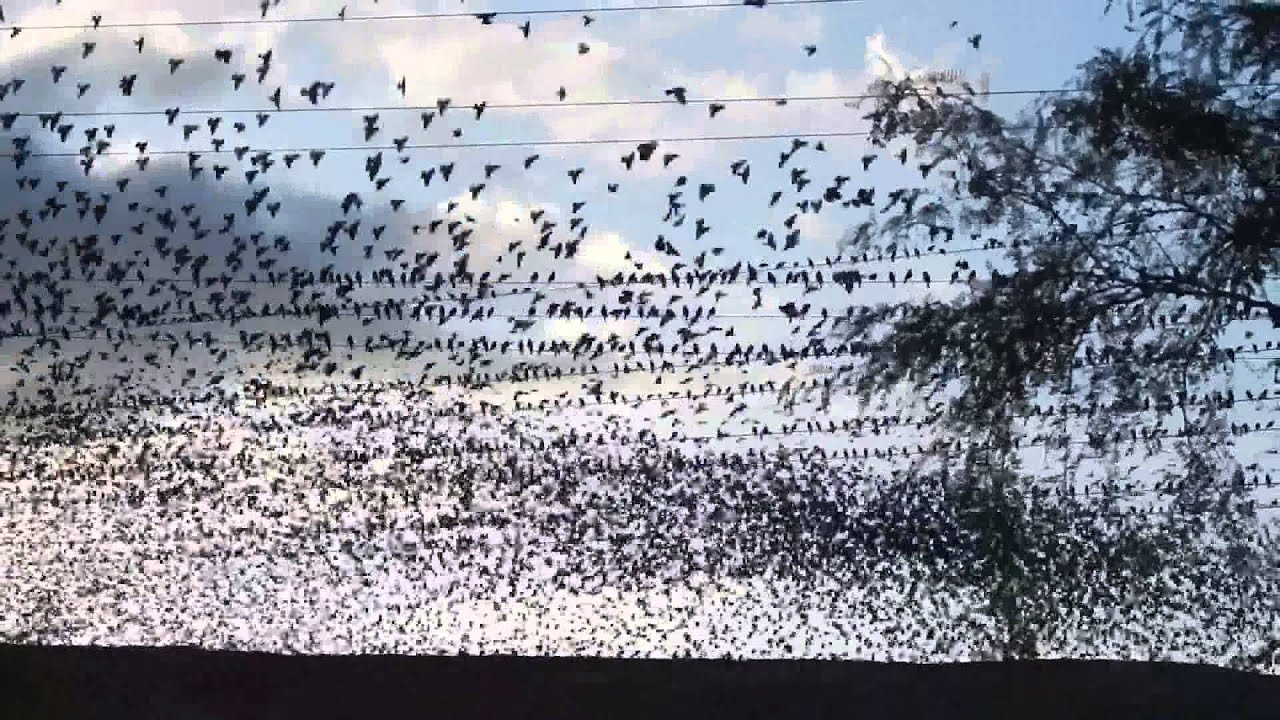 Birds on a Wire - 10\'s of thousands Yellow-headed Blackbirds - YouTube