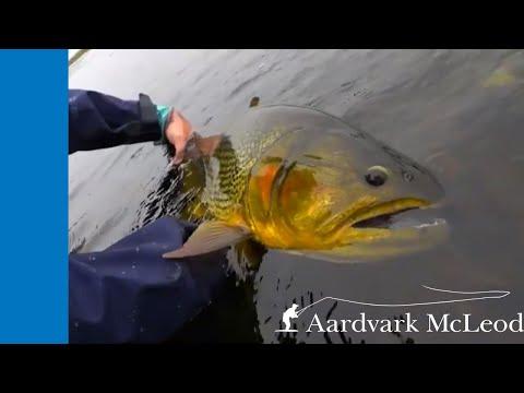 Oro Negro - Fly Fishing For Golden Dorado In Argentina