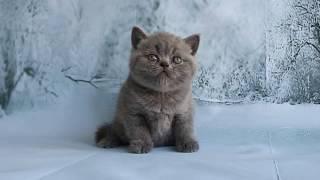 Британский голубой кот Darwin играет. Продажа котят