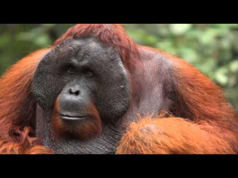 Save the Sumatran Orangutan from Extinction