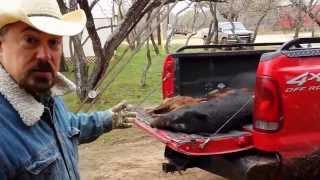 Free Hog Hunting