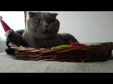 Funny cat (Scottish Fold) - отвратительный звук !