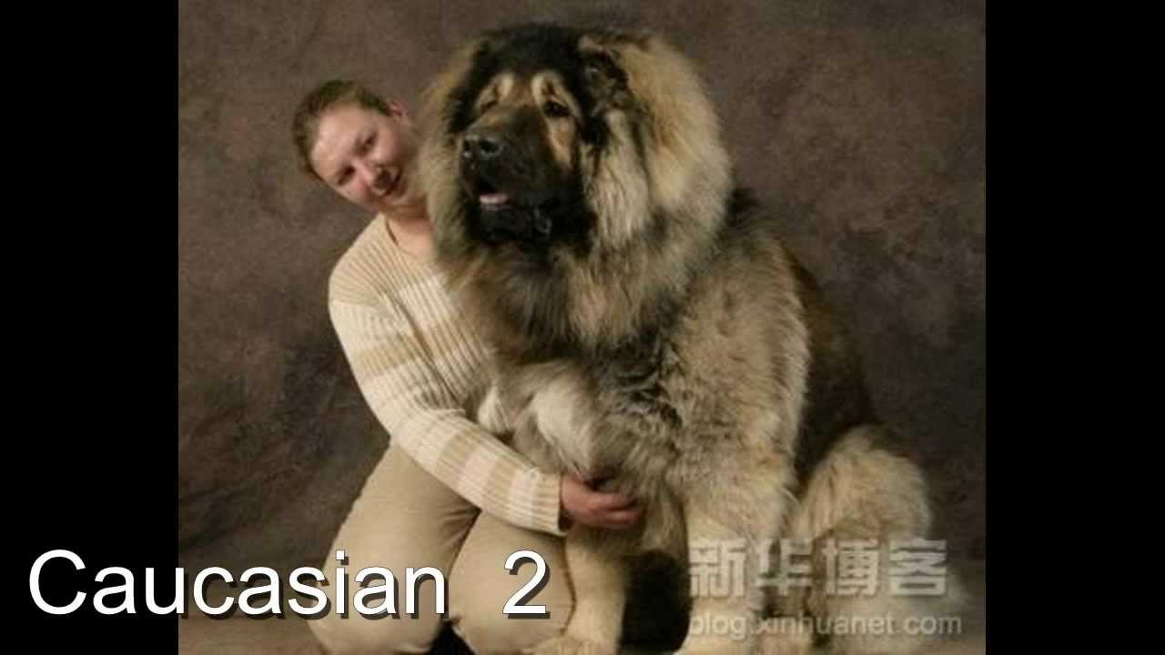 Most Biggest Dog Breed In The World