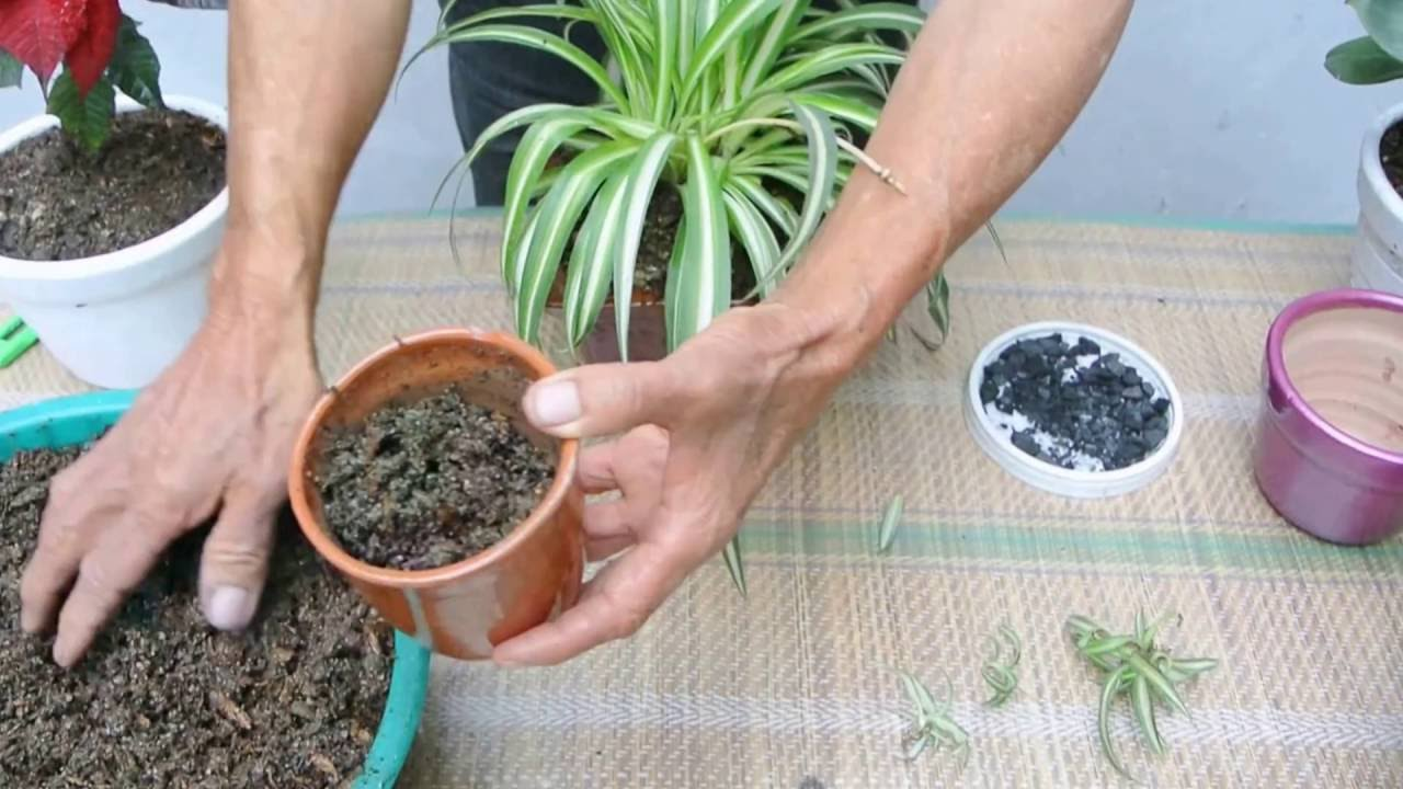 Mala madre planta reproduccion asexual de las plantas